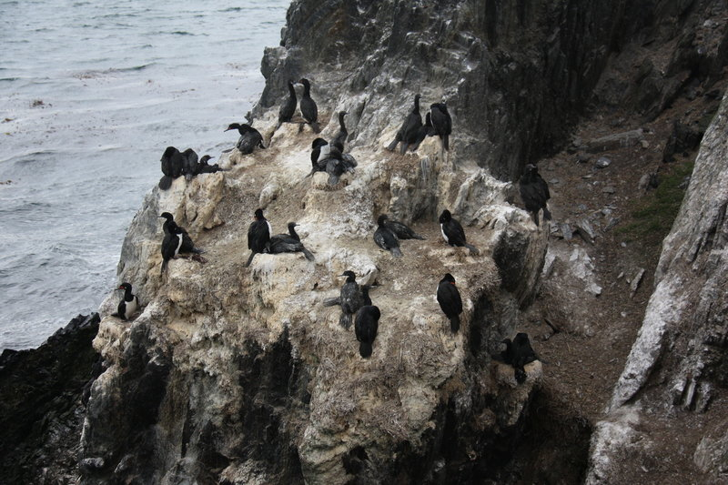 Rock Cormorants