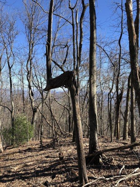 """Trail tree"" on Rocky Mountain"