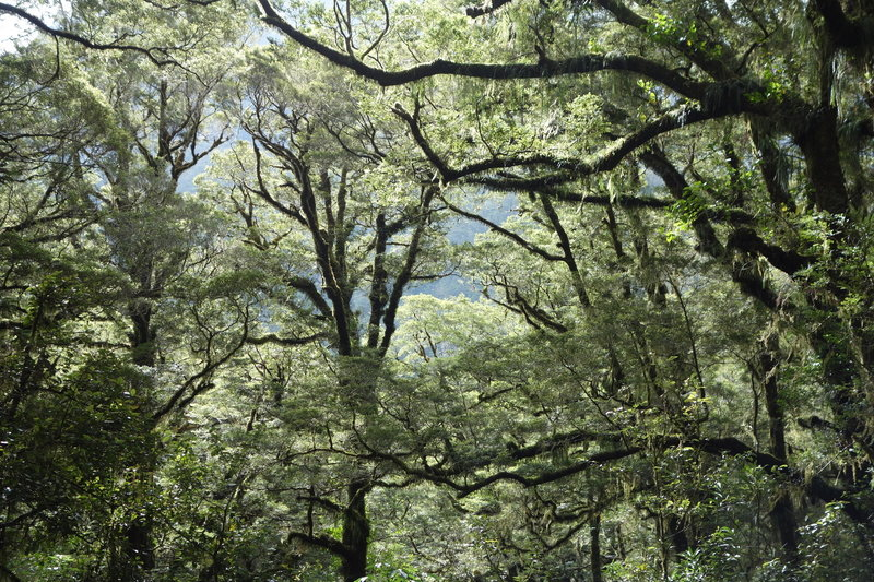Forest canopy over The Chasm trail