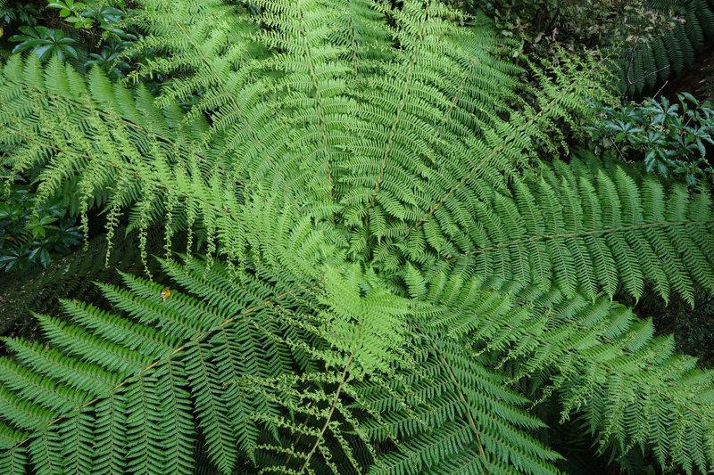 Silver fern (Cyathea dealbata)