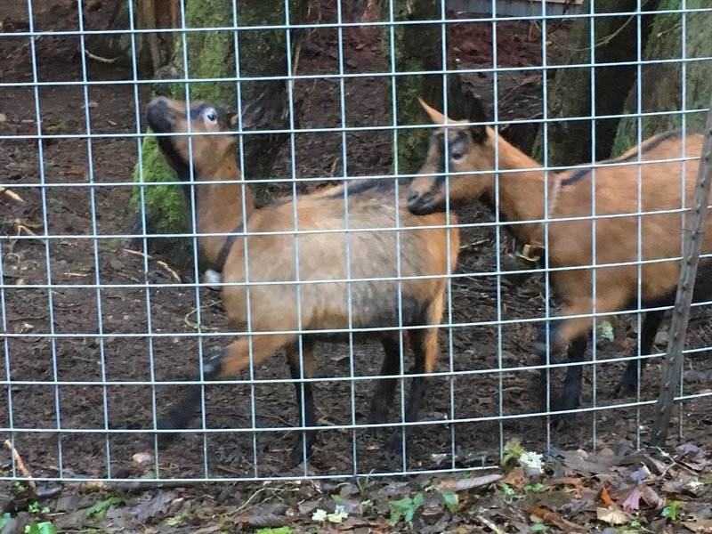 """Say """"hi"""" to the goats as you travel along the Cross Island Trail"""