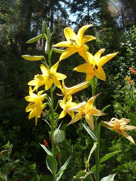 Lemon lillies at Little Jimmy Spring