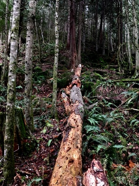 A fallen, and rotted tree.
