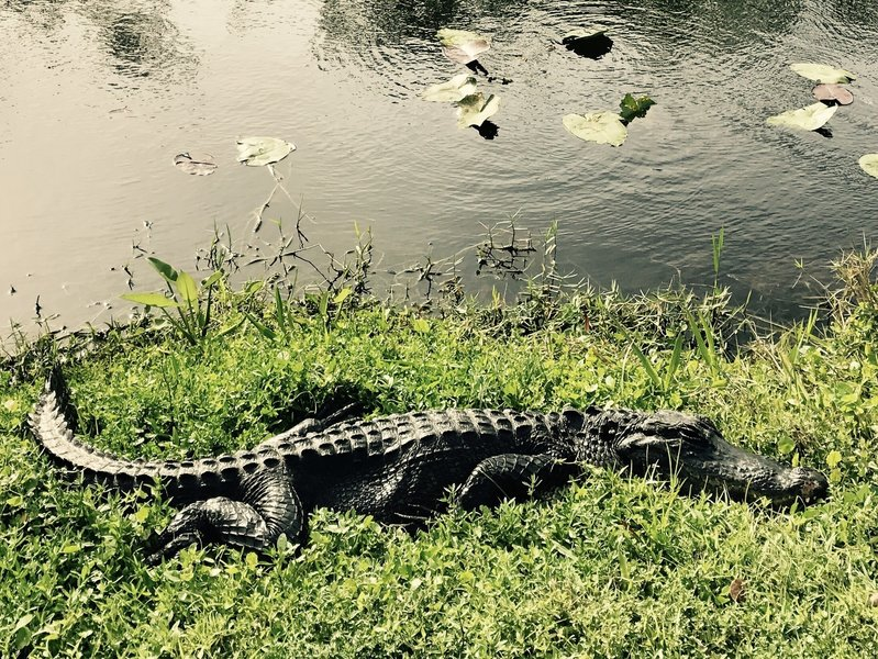 Alligator on the side of the trail.