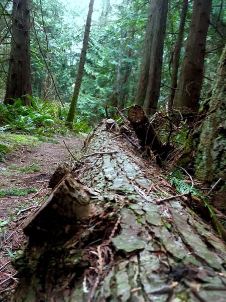 A downed tree bordering the trail.