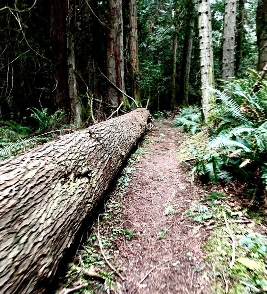 A log stretching the length of part of the trail.