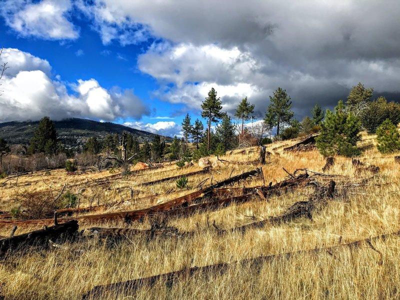 Large pine in an open field