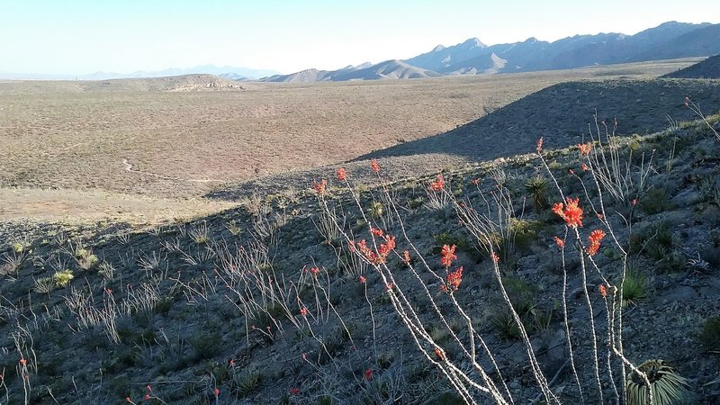 View of the North Franklin Mountains and Ocotillos in bloom.