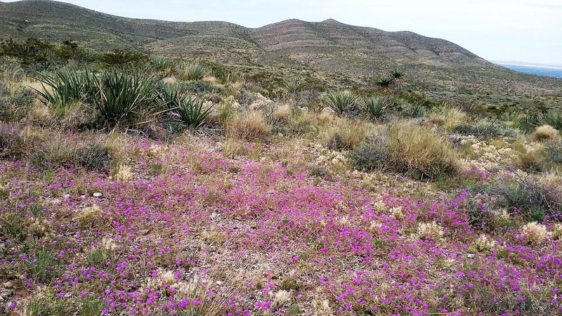 View of  Franklin Mountains from the trail. Abundance of wildflowers.