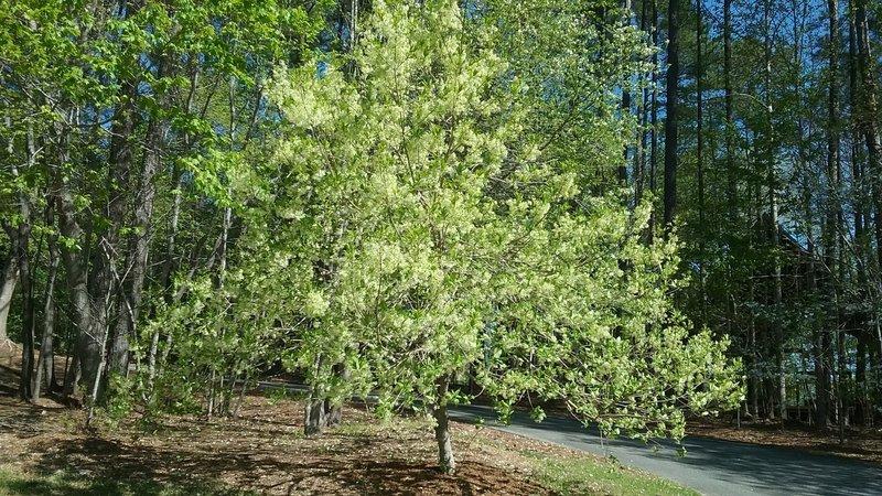 Fringe tree in bloom in the spring.