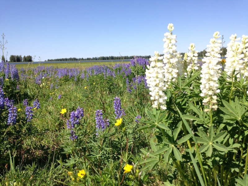 July Wildflowers on Deep Creek Trail