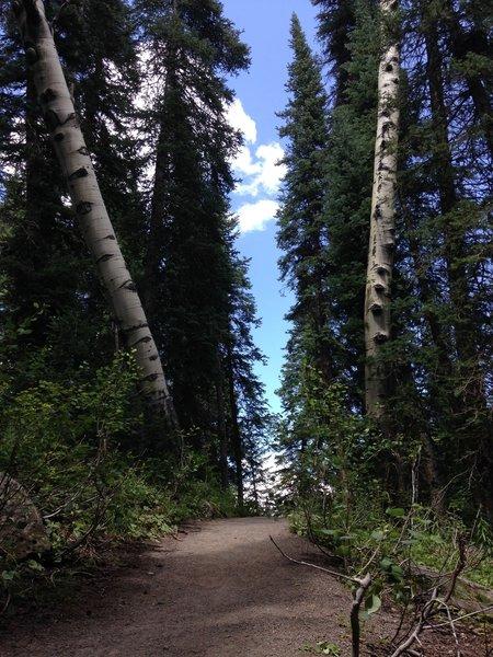 2 huge aspen trees!