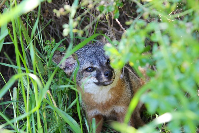 What is up with you, Island Fox?