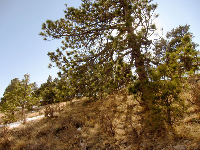 Forest on Guadalupe Mountains National Park, Guadalupe Peak Trail.