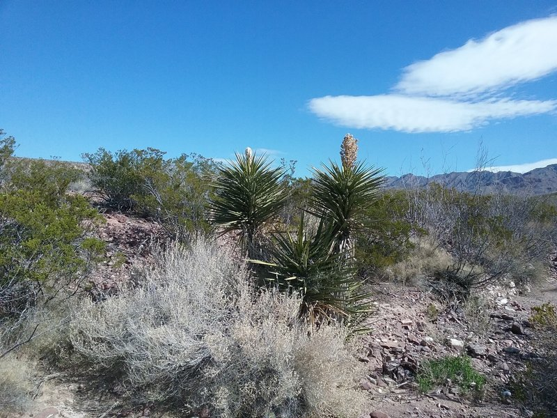 Banana yucca starting to bloom and view of the Franklin Mountains.