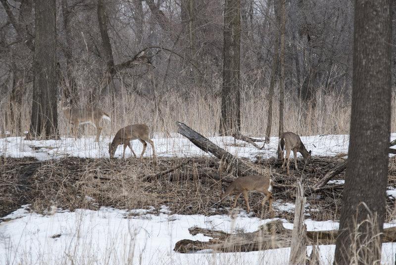 Group of Deer at Fort Snelling