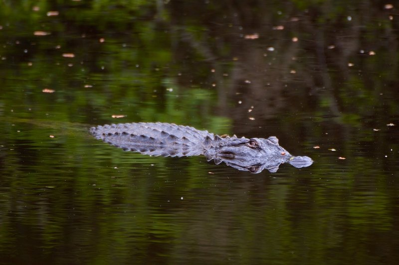 This alligator is a common site at this little pond.