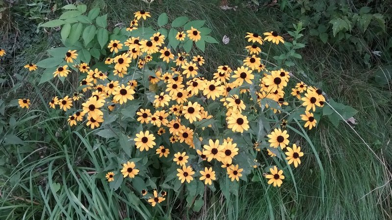 Rudbeckia Hirta along the trail