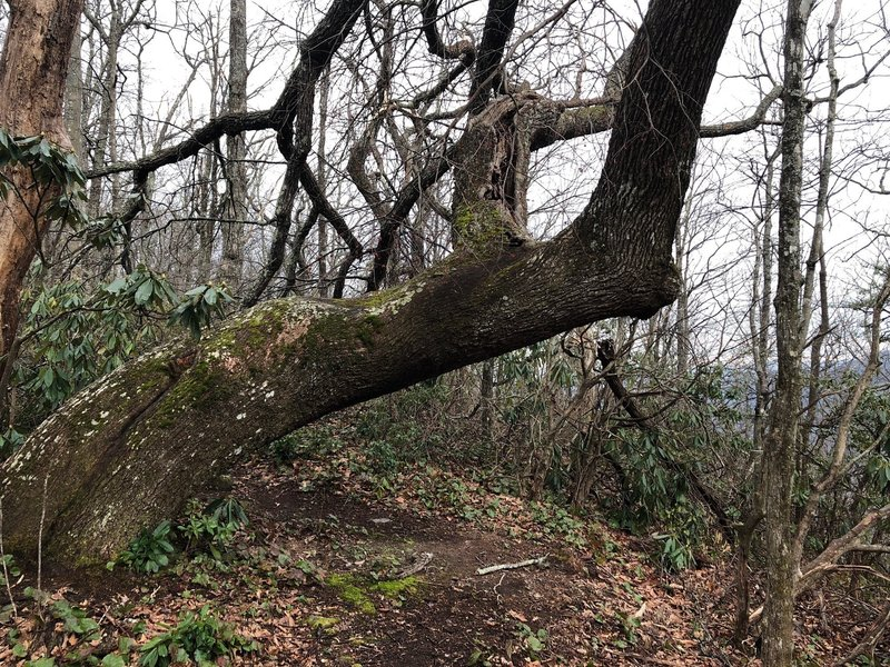 One of the large old growth trees you'll find along the Leadmine Gap Trail.