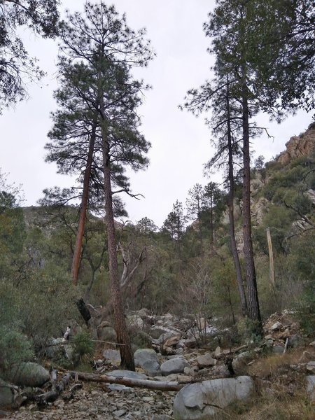 Ponderosa Pines in the creek bed on the Romero Canyon Trail