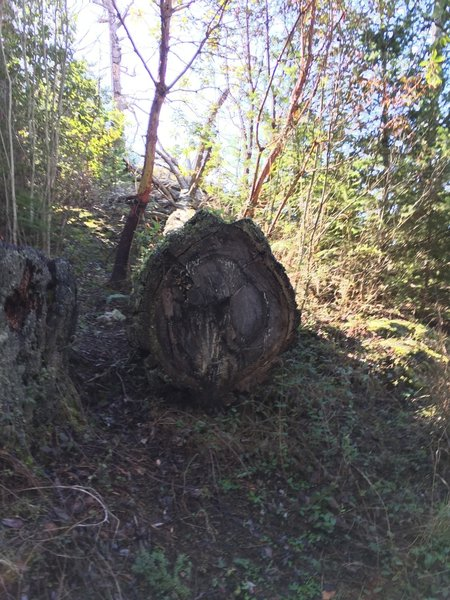 A felled giant on the way to Sares Head.