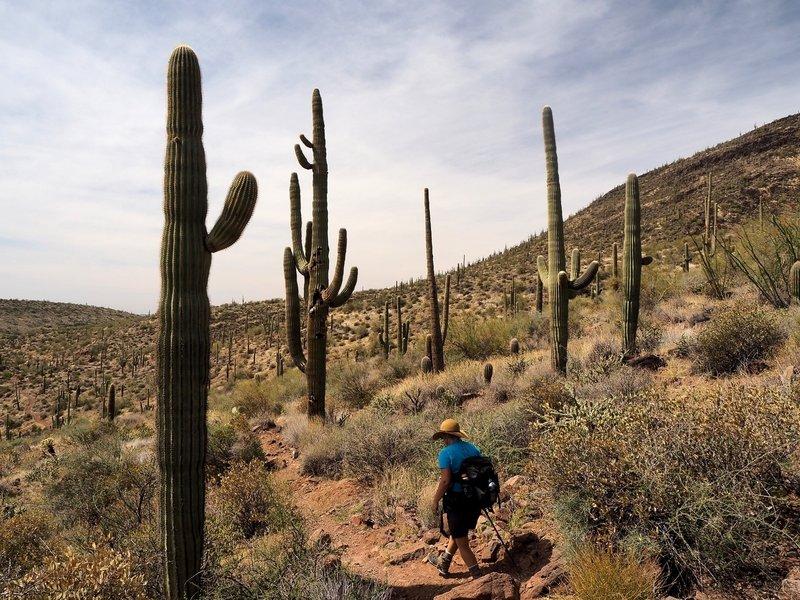 Through the saguaros on the Elephant Mountain Trail