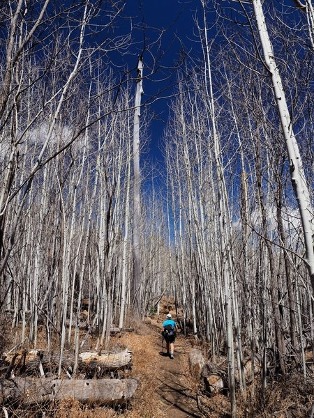 Through the aspens on the Aspen Trail