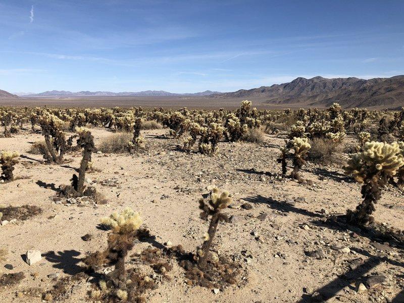 A sea of cholla cacti