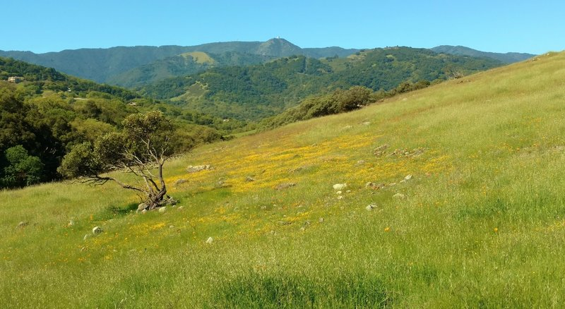 Spring wildflowers along Vista del Oro Trail, with Mt. Umunhum of the Santa Cruz Mountains in the distance, looking west-southwest.