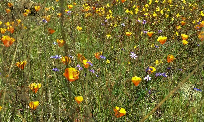 California poppies, blue eyed grass, and yellow flowers along Lisa Killough Trail