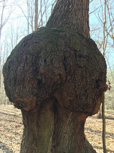 """This is """"Earl the Burl""""."""