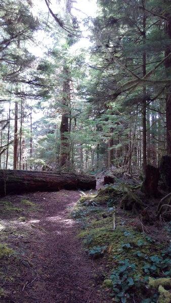 Large pines everywhere