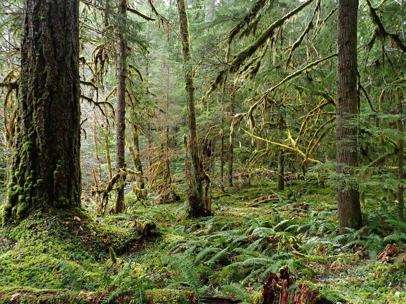 A luxuriously complex riparian old-growth forest