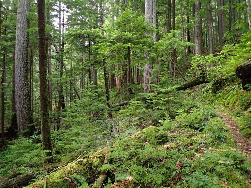 Tall old Douglas fir trees line the trail