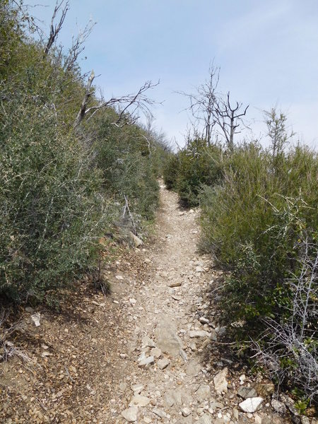 Typical condition of Mt. Lowe East Trail with recovery from Station Fire (2009).