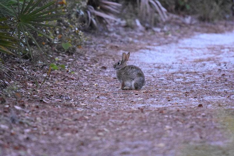 rabbit on Wilderness trail