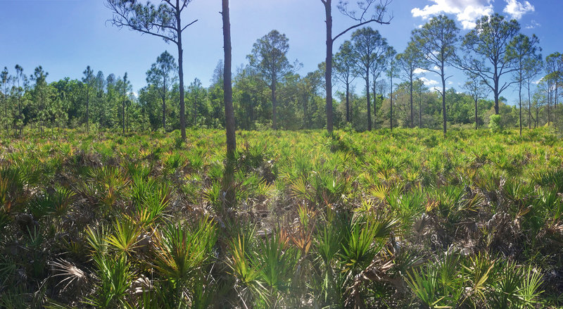 Pine flatwoods with saw palmetto and slash pines