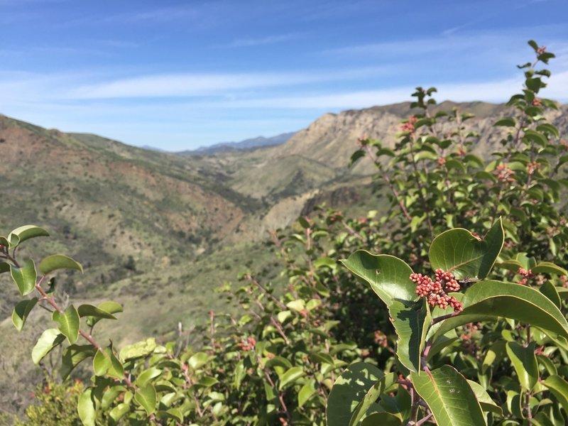 Sugar Sumac shrub in spring along the Aliso Loop Trail