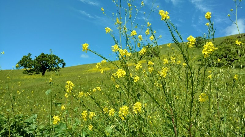 Mustard blooms in the spring along Willow Springs Trail.