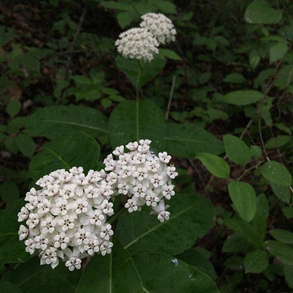 White MilkWeed  -  Chestnut Ridge Heritage Preserve