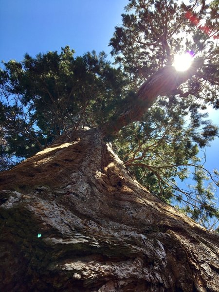 Big Stump Tree