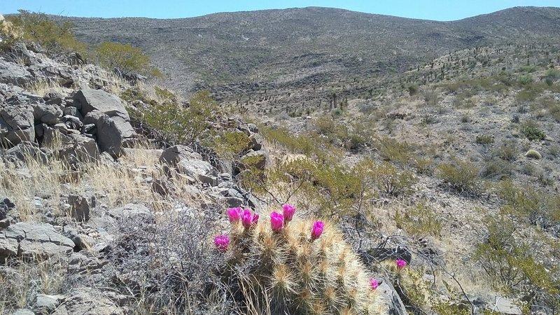 Haystack cactus in bloom.