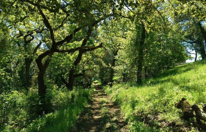 Valley Oak Trail goes through the sunlit oak woods.