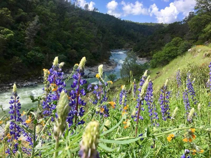 Lupines are out in April at Buttermilk Bend.