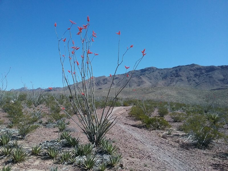 Looking NE on the trail, Franklin Mountains and ocotillos