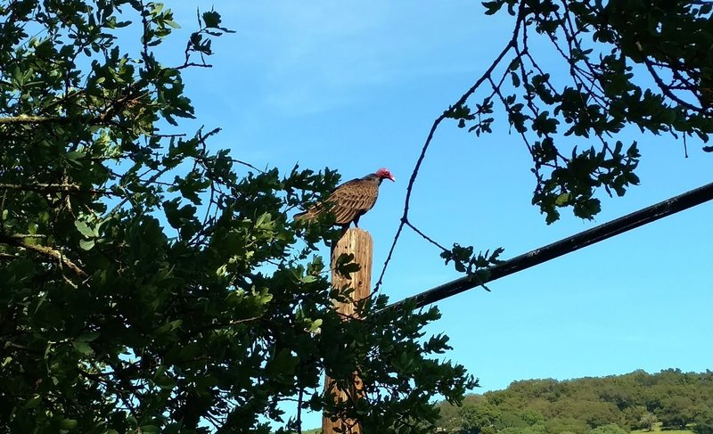 Turkey vulture seen along Rancho La Polka Trail.