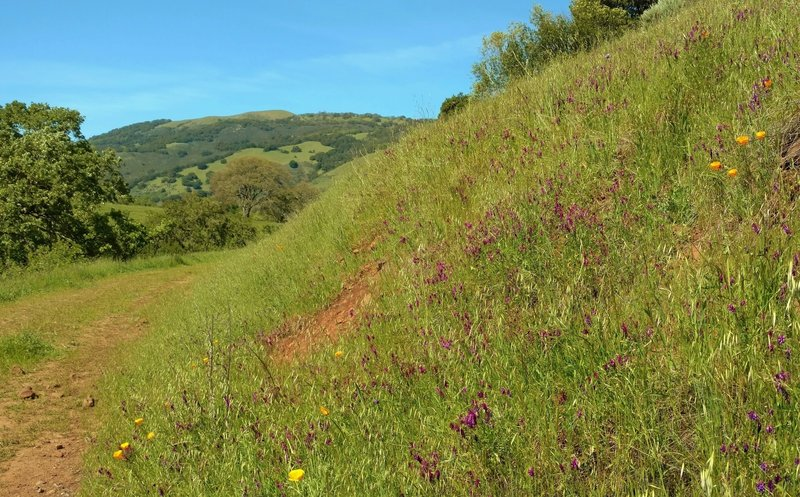 Palassou Ridge comes into view as one rounds a wildflower (orange California poppies and purple smooth vetch) covered bend on Mendoza Trail.