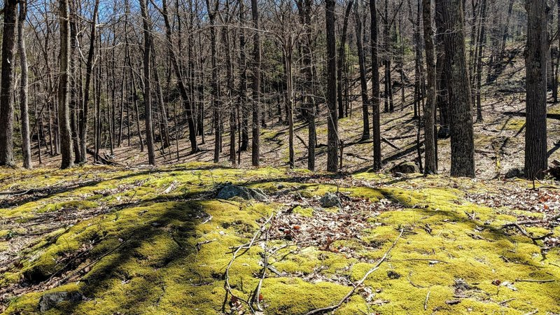A serene, moss covered section of Stahahe Brook trail