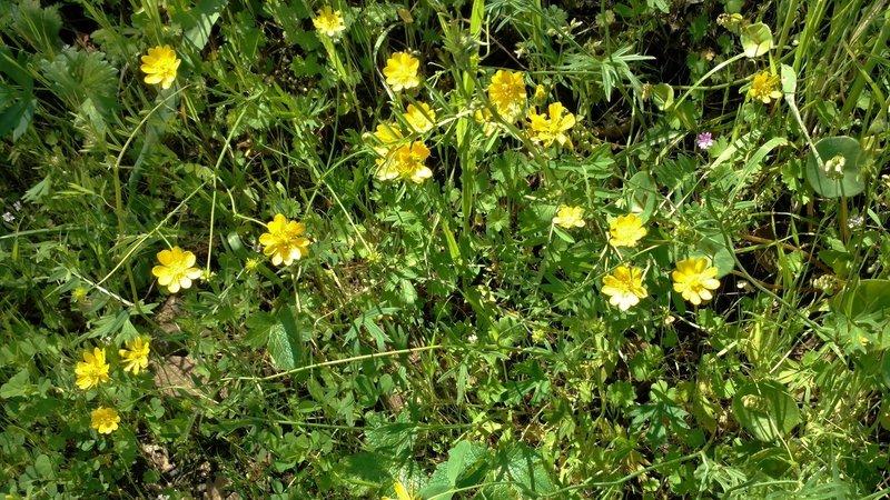 California buttercups along Mummy Mountain Trail.