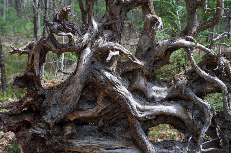 Tree roots of a fallen tree.